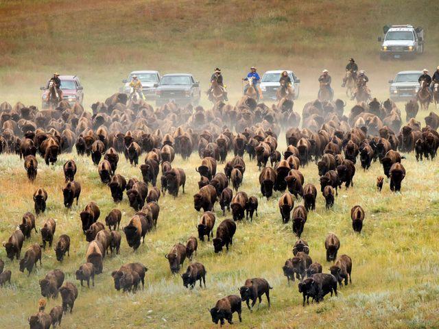 Buffalo kudde, South Dakota