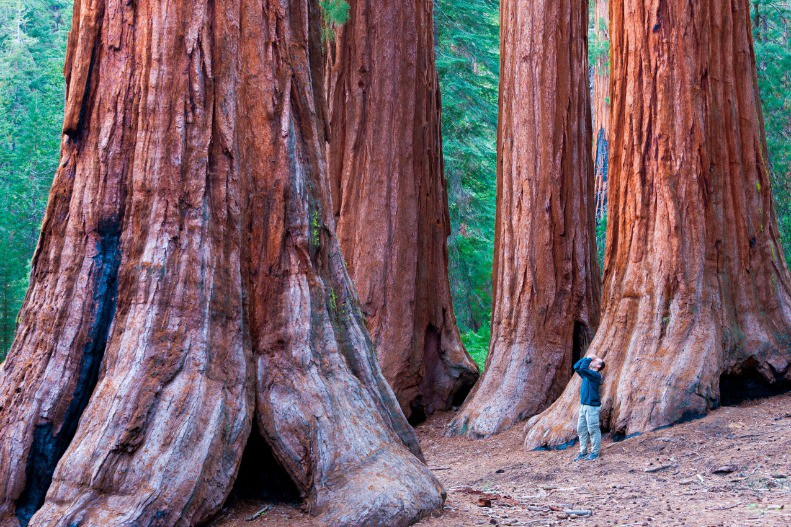 Afbeelding van Sequoia Trees In Yosemite National Park A Person S 4M37WAJ