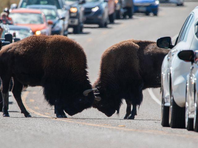 Buffalo fighting, Yellowstone National Park