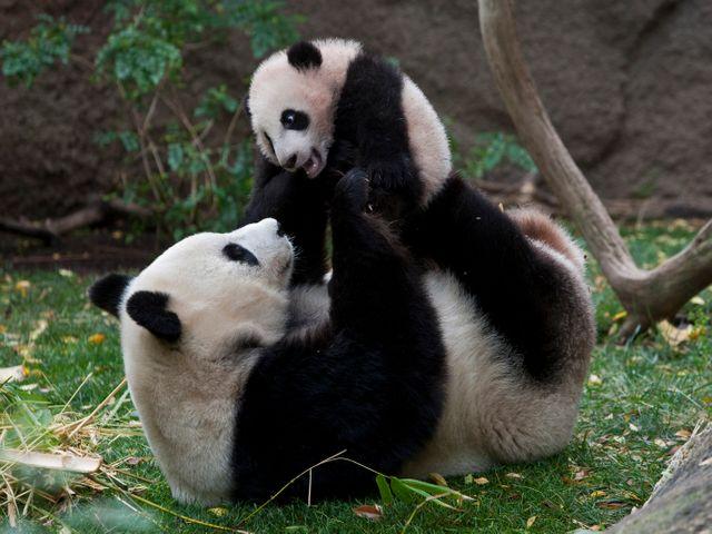 Panda's in San Diego Zoo
