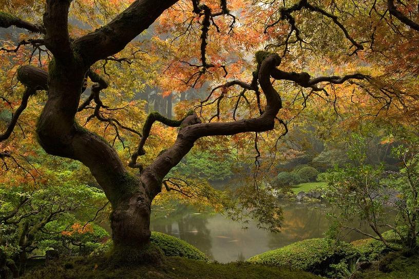 Laceleaf Japanese Maple Fall