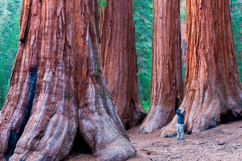 Sequoia Trees In Yosemite National Park